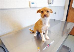 Pruebas de titulación de vacunas para perros