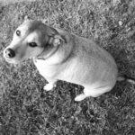 Consejos para la pérdida de peso canina segura
