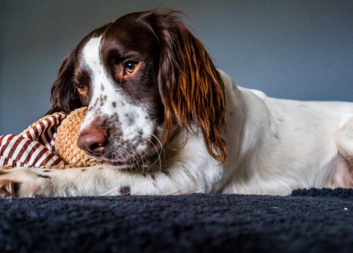 ¿Qué es la miastenia grave en los perros?