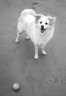 Recuperación de la cirugía de displasia de cadera en perros