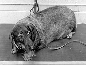 La lucha contra la obesidad canina - Enfoque en el ejercicio y la dieta