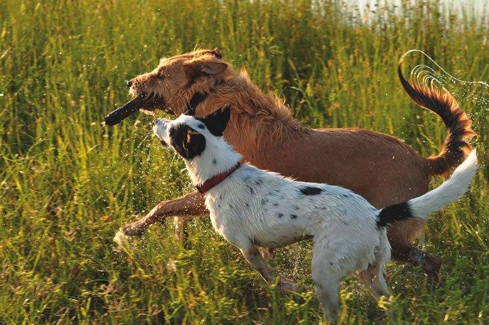 Cómo prevenir lesiones en su perro exuberantemente activo