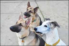 Un estudio de las causas de muerte relacionadas con la raza en los perros