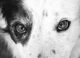 Perros mayores y el comienzo de las cataratas