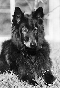 Tratamientos holísticos para el osteosarcoma en perros