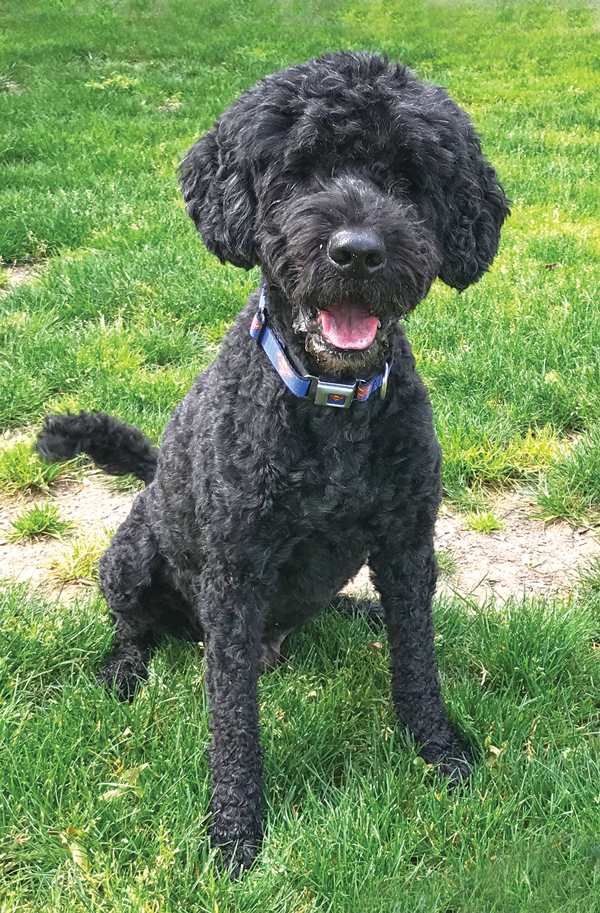 Hemangiosarcoma en perros
