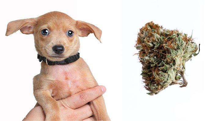Toxicidad de la marihuana en perros