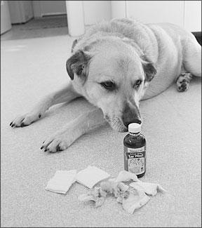 Infecciones por levaduras en perros