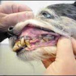 Cómo cuidar adecuadamente los dientes de su perro