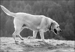 Lipomas caninos