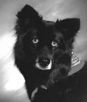 Tratamiento de las infecciones de gusanos del corazón caninos