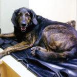 Parálisis de garrapatas: Qué hacer si su perro parece paralizado