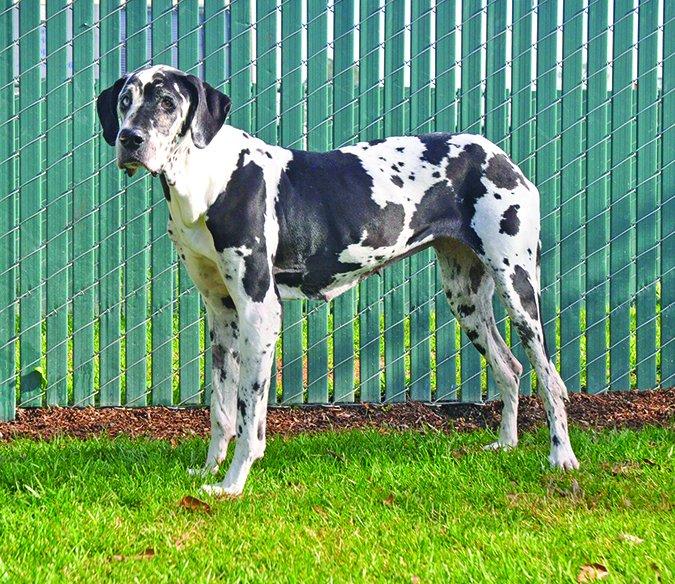 Hinchazón en perros tratable con gastropexia