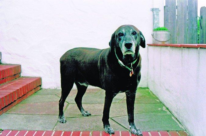 Identificar la artritis en los perros