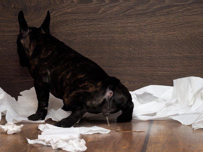 ¿Es normal que los perros orinen con frecuencia?
