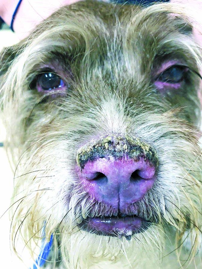 Esteroides para perros: Pros y contras